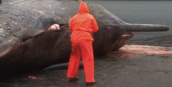 Exploding whale video : not a story for lunchtime viewing!