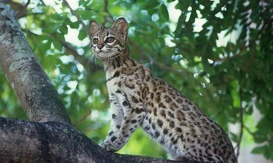 New wild cat species found in Brazil (PHOTO – VIDEO)