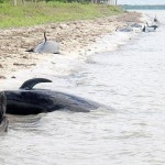 30 whales stranded off Florida coast