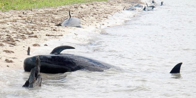 30 whales stranded off Florida coast (VIDEO)
