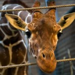 Marius the giraffe killed, feeds body to lions