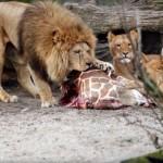Danish Zoo Kills 4 Healthy Lions