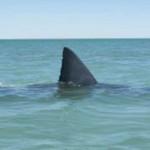 Swimmer taken by shark