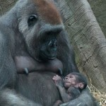 Bronx Zoo welcomes 2 newborn gorillas