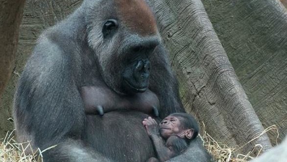 Bronx Zoo welcomes 2 newborn gorillas (Video)