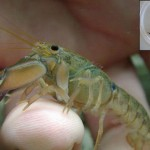 Crayfish Species Discovered in Australia
