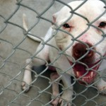 Ottawa : Pit bull that bit baby girl's face to be euthanized