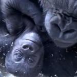 Toronto Zoo asks public to name baby gorilla