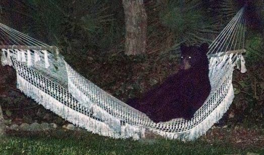 Bear relaxes in hammock (Video)