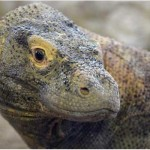 Calgary Zoo to host Five Komodo dragons