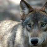 Grey wolf spotted in Iowa and shot dead
