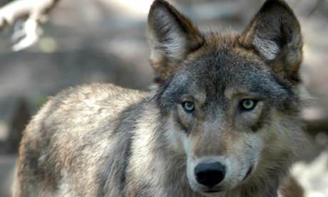 Hunter Kills First Gray Wolf Seen In Iowa In 89 Years, Report