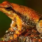 India : 14 new species of frog nicknamed 'dancing' frogs