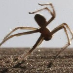 Morocco : 6.6 Feet Jumps by a Spider to Escape its Predators
