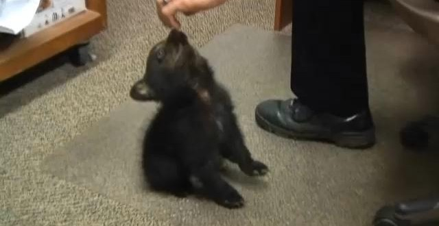 Myrtle Creek : Adorable bear cub charms police in Oregon