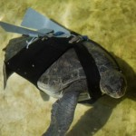 Prosthetic fin helps injured turtle