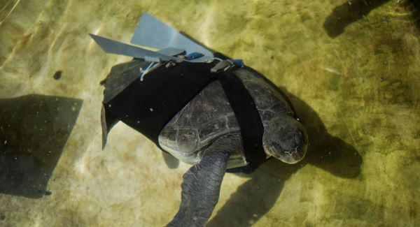 Prosthetic fin helps injured turtle (Video)