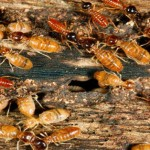 Researchers decipher first termite genome