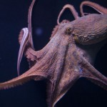 Researchers solve mystery of why octopuses do not tie themselves up in knots