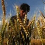 Rising CO2 'will influence' grain nutrition, study finds