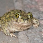 Toads causing concern in Madagascar, Report