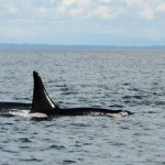 World's oldest orca whale spotted near Vancouver Island