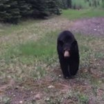 Bear scares joggers into retreat