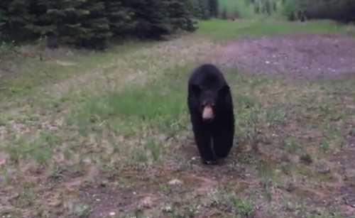 Bear scares joggers into retreat (Video)