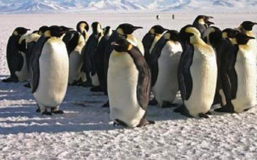 Emperor Penguin adapting the the climate change, Study