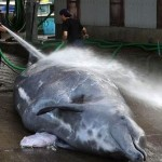 Japan kills 30 whales in first hunt since ruling to halt, Report