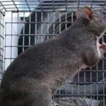 Rats shown to feel regret over bad decisions, Study