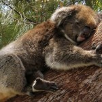 Researchers determine why koalas cling to tree limbs