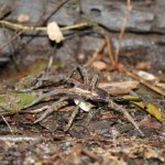 Researchers find fish-eating spiders around the world