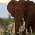 Satao : One Of Kenya's Legendary 'Tuskers' Is Killed By Poachers