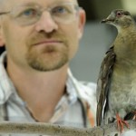 Scientists to Raise Extinct Passenger Pigeon from the Dead