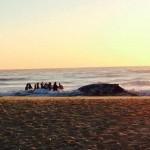 Australia : Rescuers free beached whale