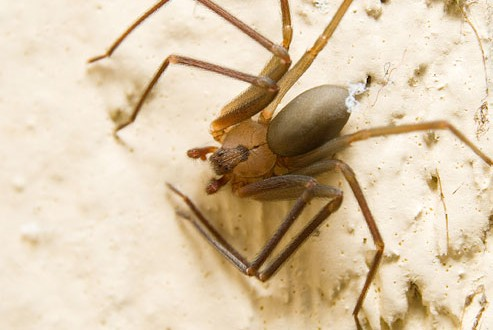 Brown recluse bites on the rise (Video)