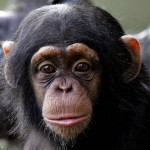 Chimpanzee Intelligence Determined by Genes, Finds New Study