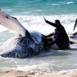 Humpback Rescued In Australia