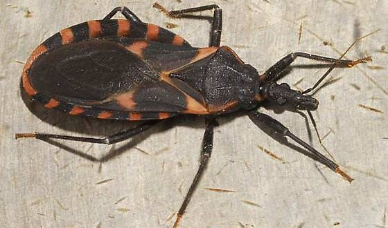 'Kissing bug' : Chagas is a deadly import in United States