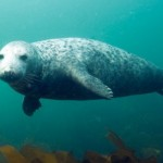 New England : gray seal resurgence stirs call for hunt