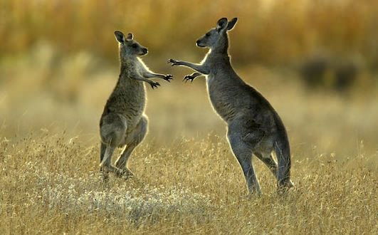 Red Kangaroos Use Tail as Powerful Fifth Leg, Study