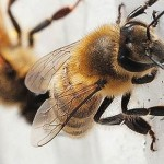 Scientists interested in studying Newfoundland's healthy bees