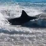 Shark chokes on sea lion: Shark death investigated as video goes viral