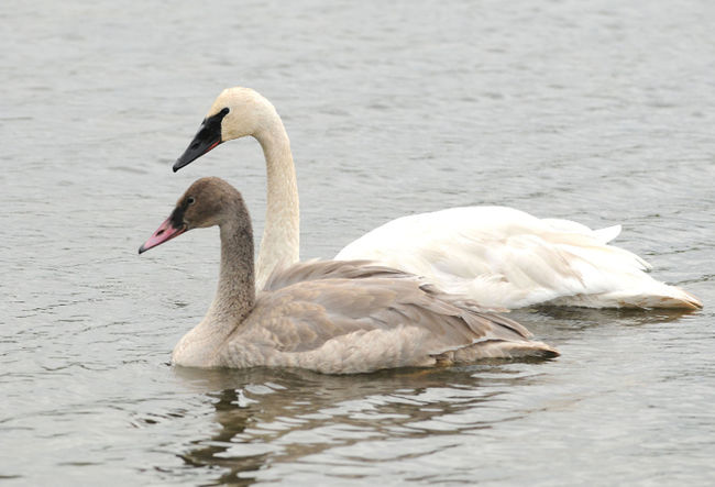 Trumpeter-swan-off-Albertas-threatened-species-list-Report jpgThreatened Animals List