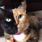 Venus the 'two-faced' cat