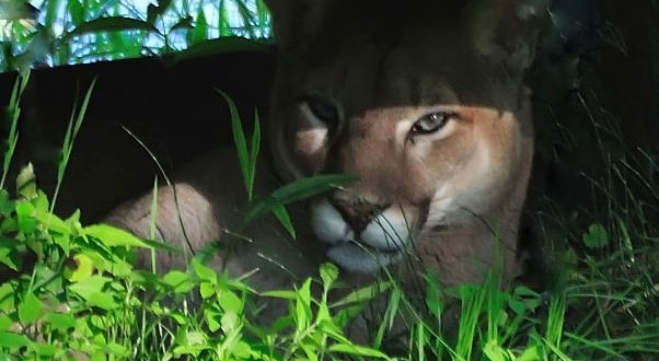 Alberta Environment worker attacked by cougar