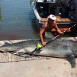 Angler catches 809-pound tiger shark