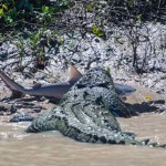 Crocodile And Shark Fight To Death In Australia
