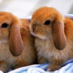 New research sheds light on rabbit domestication, Study